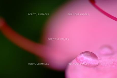 花びらの上の水滴 FYI00423994