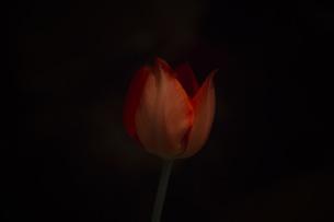 Tulip02 FYI00424492