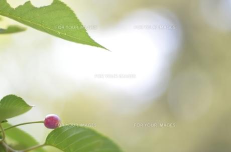 光の中のさくらんぼ FYI00425153