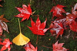 真っ赤な紅葉の落ち葉 FYI00425955