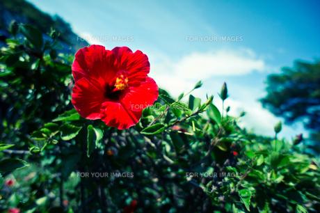 赤いハイビスカス FYI00429887