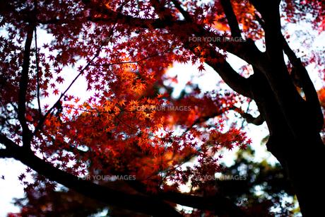 紅葉と木の陰のコントラスト FYI00429900