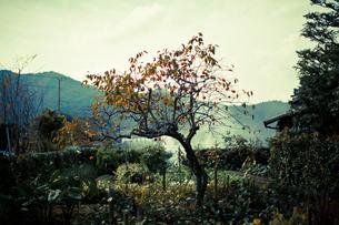 庭の柿の木 FYI00429906