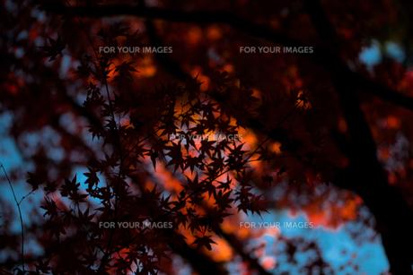 紅葉の影 FYI00429909
