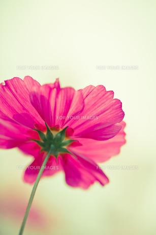 天を仰ぐピンクのコスモス FYI00429913