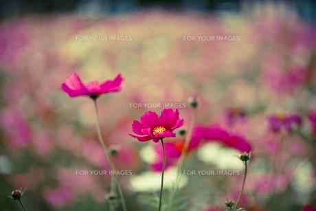 ピンクのコスモス畑 FYI00429917