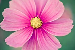 ピンクのコスモスのアップ FYI00429924