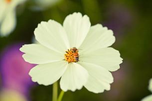 白いコスモス蜂の受粉 FYI00429929