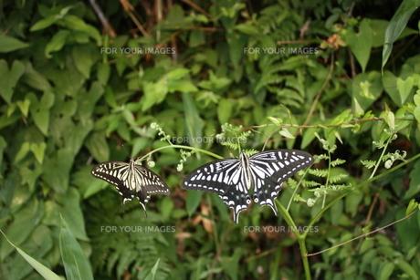 休憩中の蝶 FYI00430044
