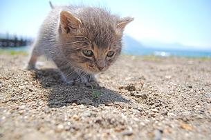 よちよち歩く、子猫 FYI00430238
