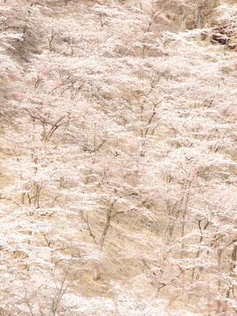 一面の桜 FYI00430511