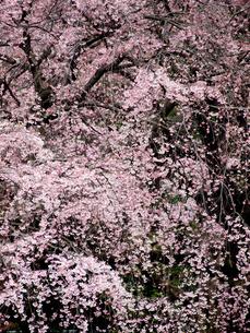 枝垂れ桜 FYI00430525