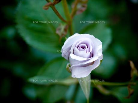 紫の薔薇 FYI00430528