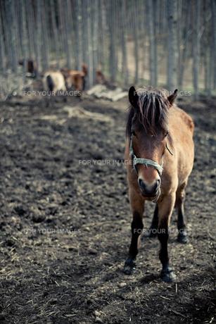 木曽馬 FYI00430604