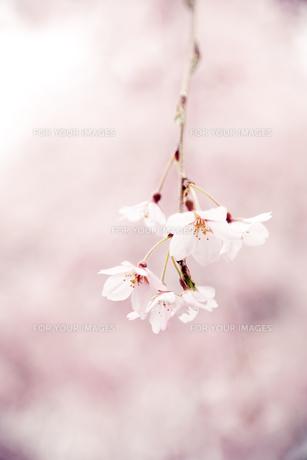 枝垂れ桜 FYI00430605