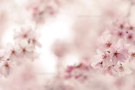 満開の枝垂れ桜 FYI00430612