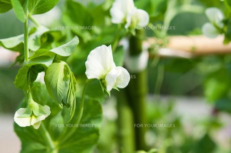 白いえんどう豆の花 FYI00432127
