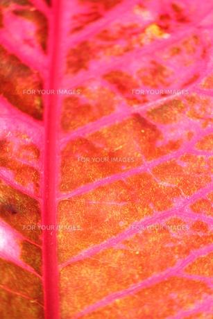 赤紫の葉脈 FYI00433346