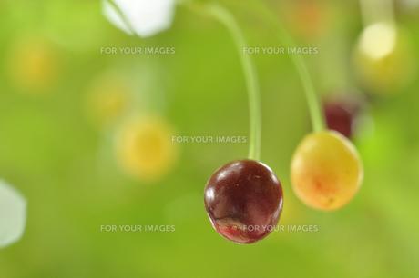 桜の果実 FYI00435068