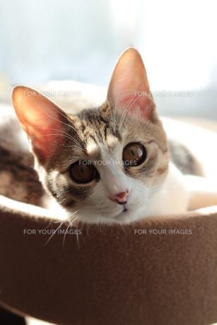 まったり猫 FYI00435281