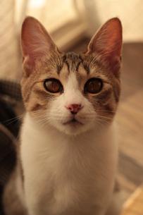 見つめる猫 FYI00435286