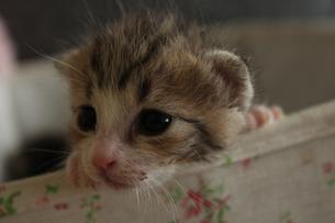 生後2週間の赤ちゃん猫 FYI00435301