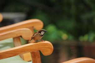 ハワイで、雀が椅子に座っていました。 FYI00435370