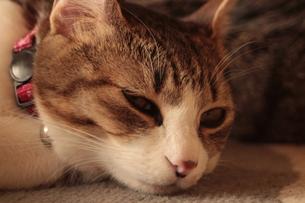 眠そうな猫 FYI00435382