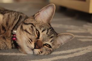 眠いうちの猫 FYI00435407