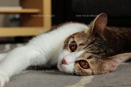 寝そべる猫 FYI00435438