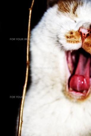 暗闇の三毛猫・咆哮 FYI00435761