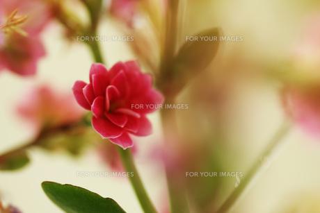 かわいいピンクの花 FYI00436045