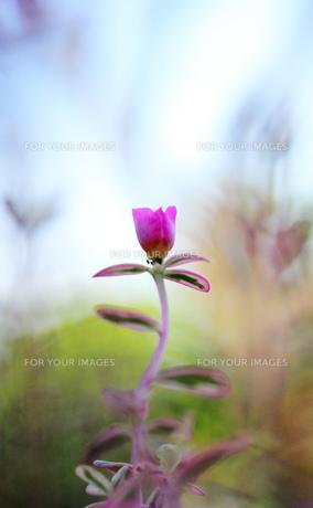 庭のピンクの花 FYI00436048