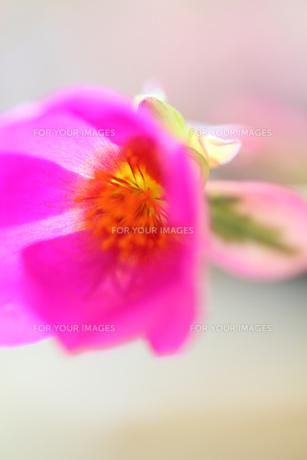 風にゆれるピンクの小花 FYI00436065
