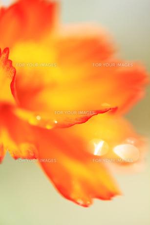 オレンジコスモスと水滴 FYI00436066