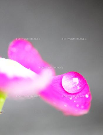 雨上がりの水滴のあるピンクの花 FYI00436073