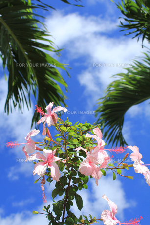 ハイビスカスと青空とやしの木 FYI00436076