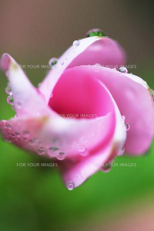 水滴のついたピンクの花 FYI00436100