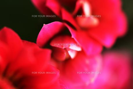 鮮やかな赤い花 FYI00436129