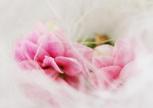 羽につつまれたピンクの花 FYI00436137