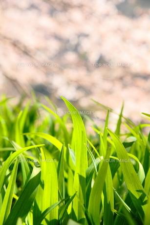 春を受ける葉 FYI00437115
