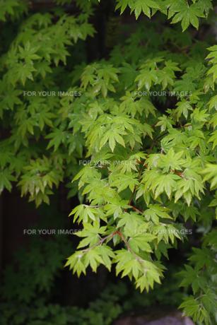 木漏れ日の中の新緑 FYI00437627