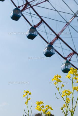 菜の花と観覧車 FYI00437745
