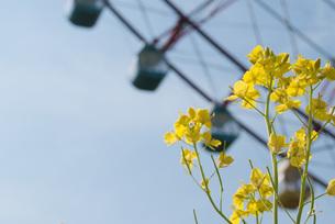 菜の花と観覧車 FYI00437746