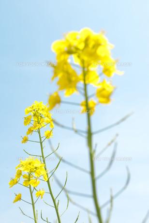 菜の花 FYI00437748