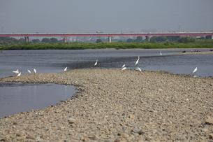 多摩川のダイサギと新多摩川大橋 FYI00442911
