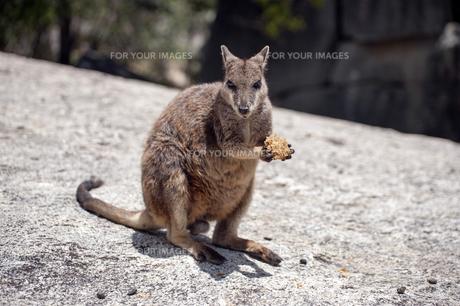 ロックワラビー、オーストラリア-1 FYI00443945