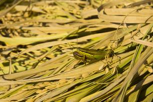 background[rice_plant]_55 FYI00447062