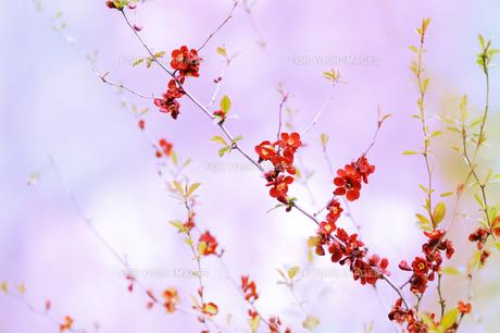 木瓜の花 FYI00449126