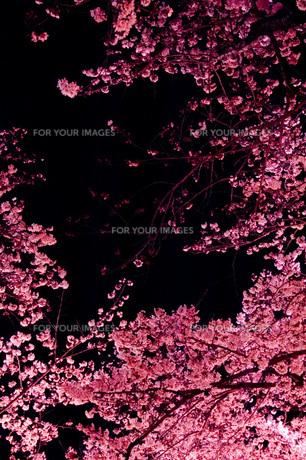 夜桜 FYI00449339